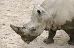 white rhinoceros, ceratotherium simum - stock photo