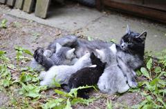 cat mom nursing kittens - stock photo