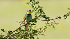 bee-eater 2 - stock footage