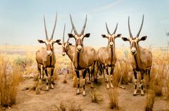 gemsbok antelopes - stock photo