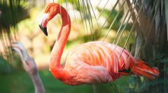 Flamingos Fighting Stock Footage