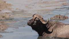 Buffalo 3 Stock Footage