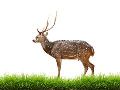 Maie axis deer with green grass isolated Stock Photos