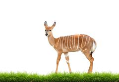 nyala with green grass isolated - stock photo