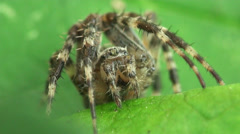 Spotted spider on green leaf Stock Footage