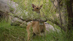 bushbuck 1 - stock footage