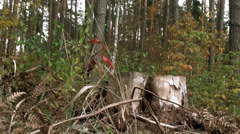 Withered tree stump in forest Stock Footage