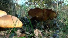 Toadstool in autumn leaves near tree Stock Footage