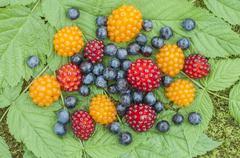 Wild alaskan berries Stock Photos
