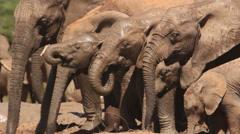 Elephants drinking 1 Stock Footage