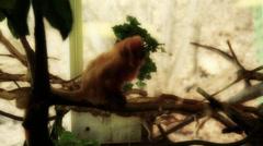Monkeys in captivity in a zoo Stock Footage