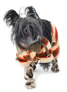 frozen chinese crested dog - stock photo
