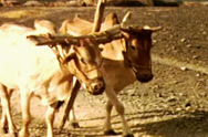 Stock Video Footage of Aden Protectorate cattle yoke team vintage SD