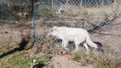 Wolves in the zoo Stock Footage