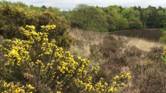 Blooming gorse on glacial hills and forest edge + tilt down - stock footage