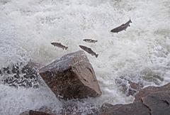 Salmon Jumping River - stock photo