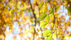 fall branch HD - stock footage