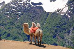 Lonely camel in high caucasus mountains Stock Photos