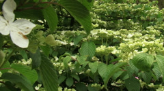 Japanese Snowball, viburnum plicatum in bloom - pan horizontal branch Stock Footage
