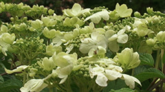 Japanese Snowball, viburnum plicatum in bloom - eye level + close up flower Stock Footage