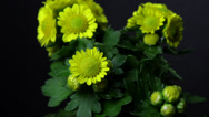 Stock Video Footage of Chrysanthemum slow zoom timelapse