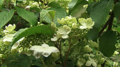 Japanese Snowball, viburnum plicatum in bloom - eye level + tilt up Stock Footage
