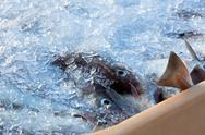 Stock Photo of catch of the day - fresh fish in shipping container