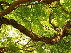 Locust Tree, Robinia pseudoacacia, Lisboa - stock photo