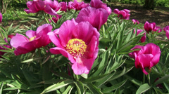 Peony in bloom, with large anemone-shaped single flowers and yellow stamens Stock Footage