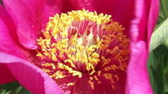 Peony in bloom - close up pin flower yellow stamens, stigma Stock Footage