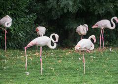 light pink flamingoes - stock photo