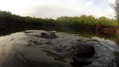 Alligator Snaps at camera - stock footage