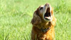 Barking  english cocker spaniel on the green grass Stock Footage