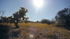 Cholla Dolly on a Golden Hill Southwest Desert Stock Footage
