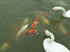 Swan with koi fish swimming in pond Stock Photos
