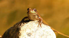 Frog on a rock. Closeup. Stock Footage