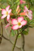Tropical flower pink adenium Stock Photos