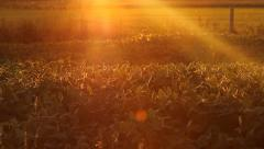Sunset crop. Stock Footage