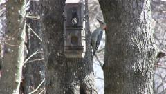 Red-bellied Woodpecker Stock Footage