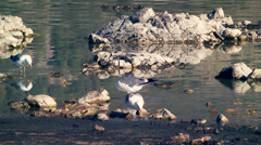 Seagulls Eating at Mono Lake Stock Footage