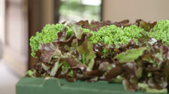 Lettuce dolly shot - stock footage