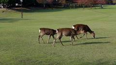 Deer Walking in Nara Park Stock Footage
