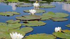 Stock Photo of lotus flower