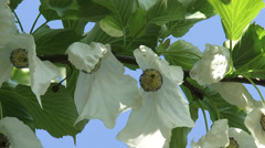 Dove tree or Pocket Handkerchief Tree in bloom agains blue sky - close up Stock Footage