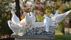 white doves - stock footage