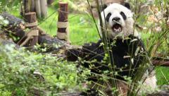 A Panda eats Bamboo Stock Footage