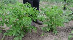 Closeup of gardener spray potato vegetable plants in garden Stock Footage