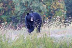 Black bear (ursus americanus) Stock Photos