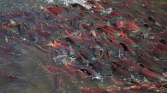 Colorful Spawning Salmon swimming in river - stock footage