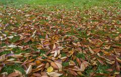 Falling leaves. - stock photo
